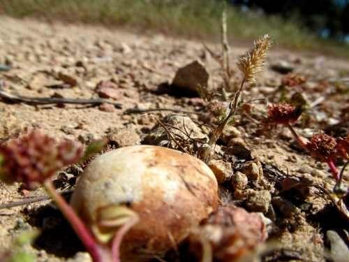 Stone in the road of acorn tea