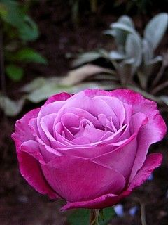 Like a rose trampled on the ground, you took the fall and thought of me above all.