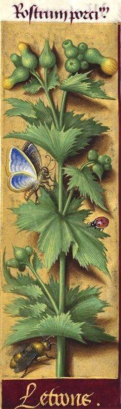 Letrons - Rostrum porci (Sonchus oleraceus L. = laiteron, laceron) -- Grandes Heures d'Anne de Bretagne, 1503-1508.