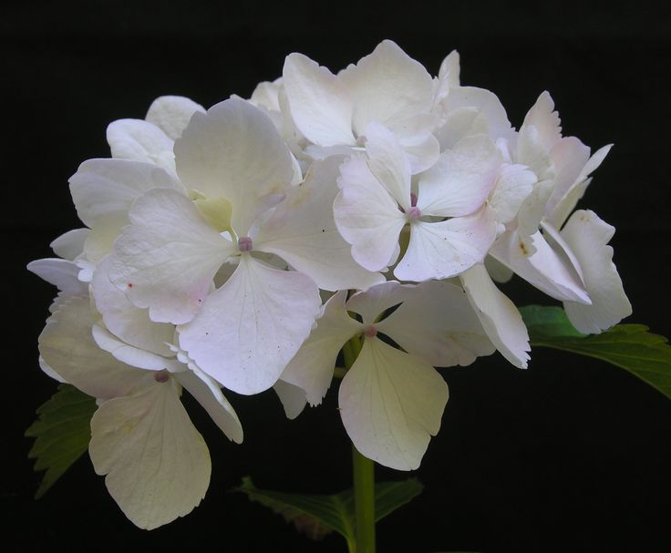 Hydrangea macrophylla 'Soeur Therese'. Large, pure white, mophead flowers. It's been a good one since 1947!