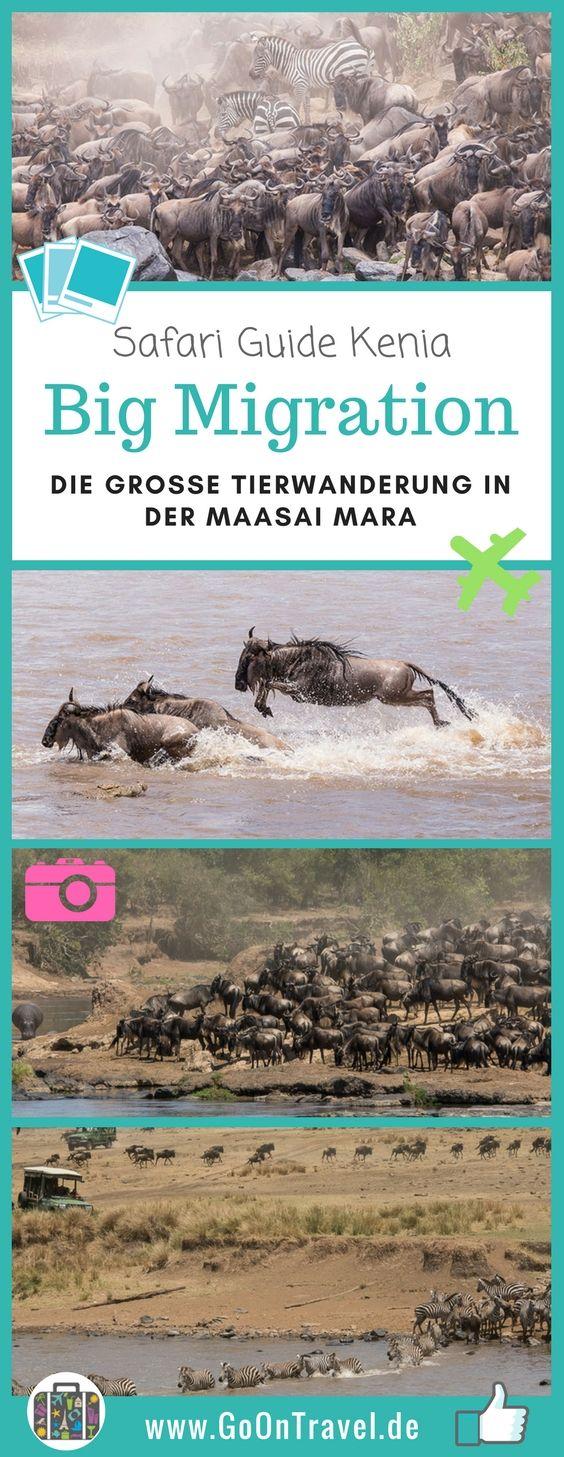 Eines der beeindrucktesten Erlebnisse in freier Wildbahn ist das hautnahe Erleben der großen Tierwanderung in #Ostafrika. Die #BigMigration! Millionen Gnus, Zebras und Gazellen wandern auf Nahrungssuche durch das Mara-#Serengeti-Ökosystem und müssen dabei gefährliche Flüsse überqueren. Hier erfährst du alles, wie wir die große Tierwanderung hautnah in der #MaasaiMara erlebt haben.  #Kenia #safari #SafariKenia #TippssafariKenia