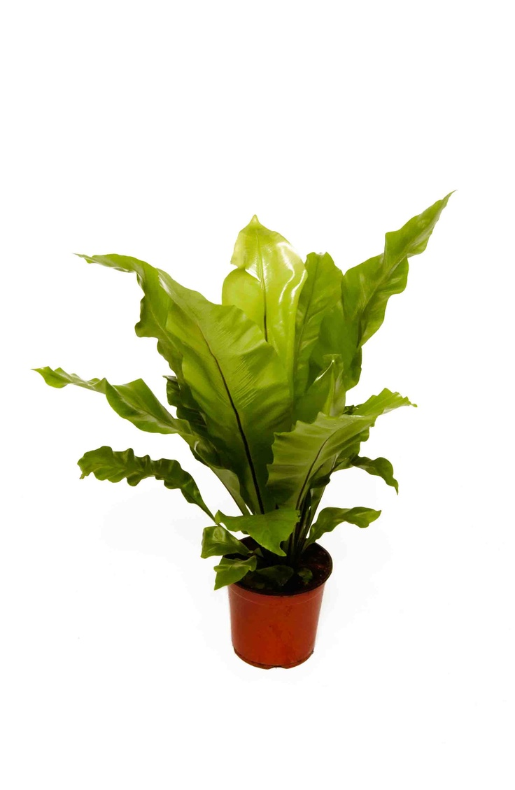tropical office plants. asplenium these are found in damp dark warm humid tropical areas so office plants