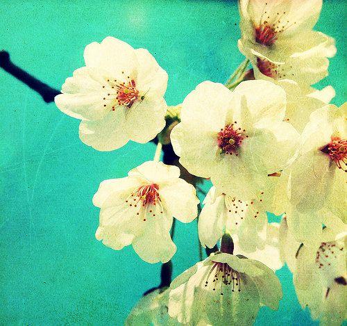 Shabby Chic foto natura fiori di ciliegio di urbandreamphotos, $30.00