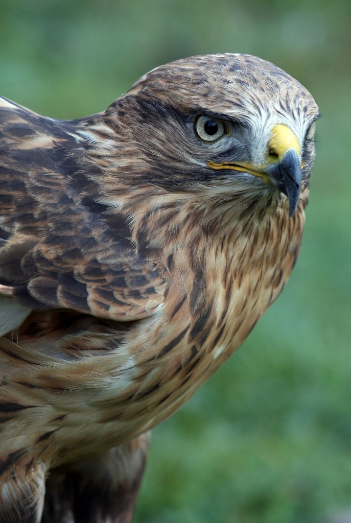 Common Buzzard? Anything but common...beautiful bird