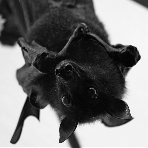 Fruit Bat by onkel_wart (thomas lieser)