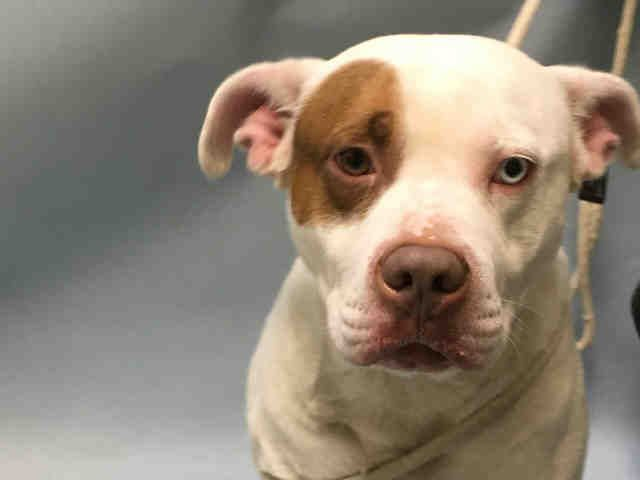 Urgent Brooklyn - ROCKY - #A1093574 - MALE WHITE/TAN AM PIT BULL TER MIX, 6 Yrs - OWNER SUR - EVALUATE, NO HOLD Reason NO TIME - Intake 10/15/16 Due Out 10/15/16