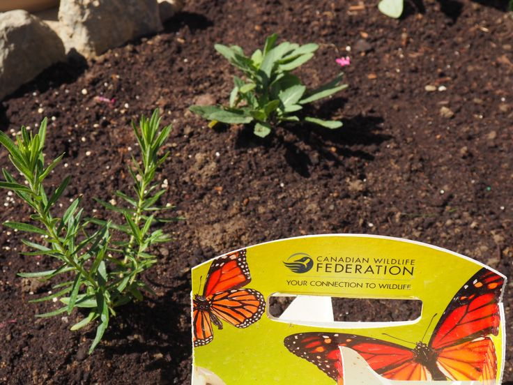 First, we would like to tell you about some new plants we just bought. It is a box of 4 plants that help Monarch butterflies! 2 of them are specifically for the picky caterpillars who eat nothing b…