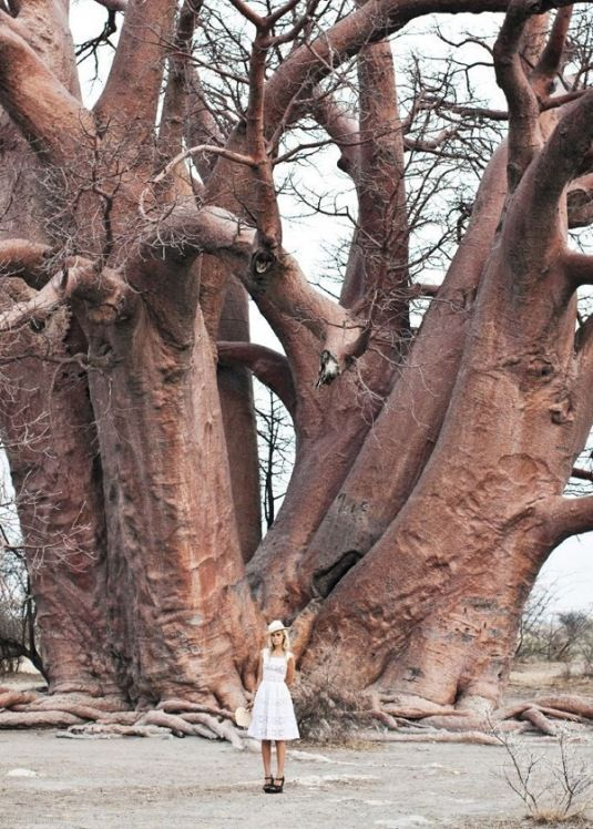Very old tree
