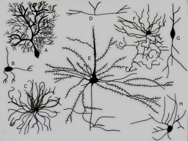 Different Types of Neurons   A  Purkinje cell B  Granule cell C  Motor    Neurons Wallpaper Black And White