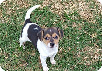 Glastonbury, CT - Beagle/Feist Mix. Meet Bonnie, a puppy for adoption. http://www.adoptapet.com/pet/18024853-glastonbury-connecticut-beagle-mix
