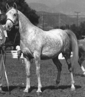 """Bint Sahara (Farawi x Bint Sedjur), dam of Fadjur (x Fadheilan) and Fersara (x Ferseyn). """"Bint Sahara, a mare of Crabbet/old English breeding, is one of the top broodmares of all time. She held the top spot in the world (for the number of champions produced) for many years. When the Living Legends of the Arabian breed were selected in 1970, Bint Sahara was one of the 10 that were selected."""""""