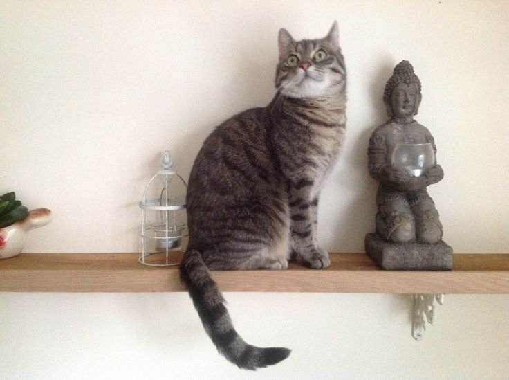 Ollie op de wandplank, mijn gekke kat