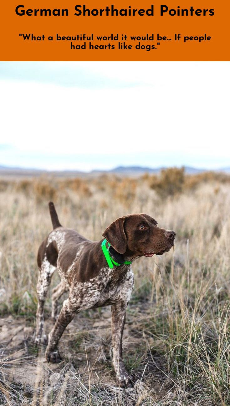 7 Best Dogs Breeds For People Allergies German Shorthaired