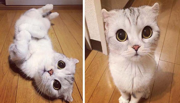Знакомьтесь, это Хана (Hana), удивительно милая шотландская вислоухая кошка из Японии, у которой количество подписчиков в Инстаграм растет так стремительно, как грибы по весне. Своей внешностью эта…