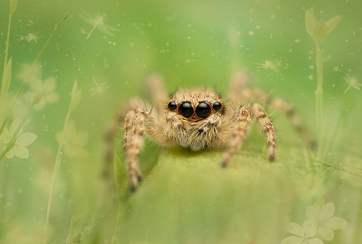 Salticidae - Menemerus bivittatus