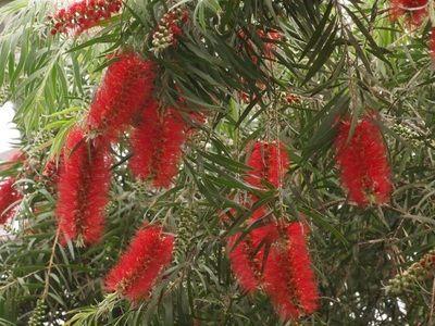 Planta callistemon citrinus seamana cu o perie de spalat sticle, cum era pe vremuri la bunica, aceasta planta face flori de diferite culori rosii, roz, alb. etc. Aceste plante sunt de origine din...