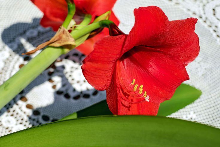 #amarillis #bloom #blossom #cup #flower #flowers #ornamental plant #red