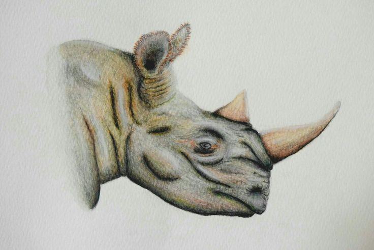 Rinoceronte cabeza. ilustración científica en acuarelas, lápices y lápices de color. Oscar_ilustra