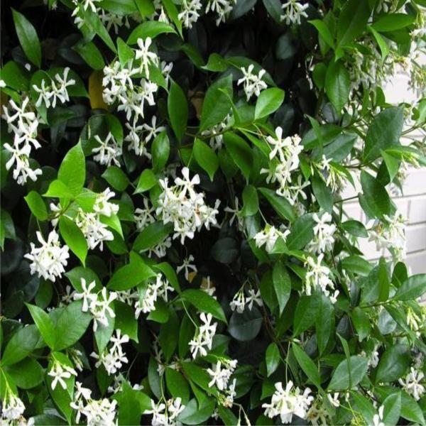 Trachelospermum jasminoides - Star Jasmine, Confederate jasmine - Australia