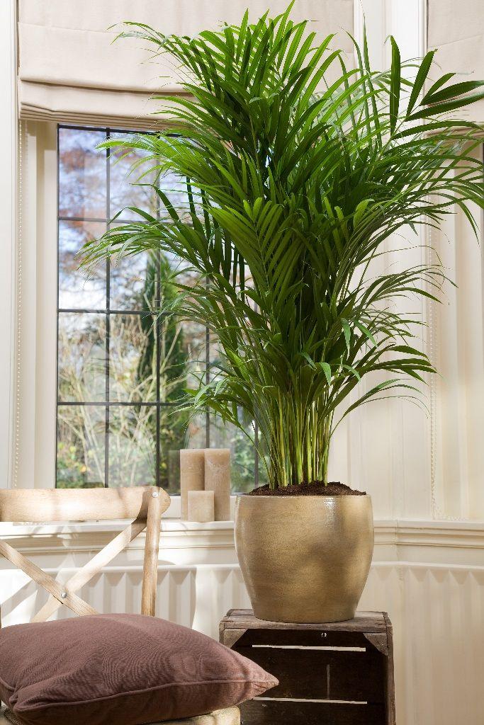 Grote kamerplanten google search new house pinterest for Grote kamerplanten