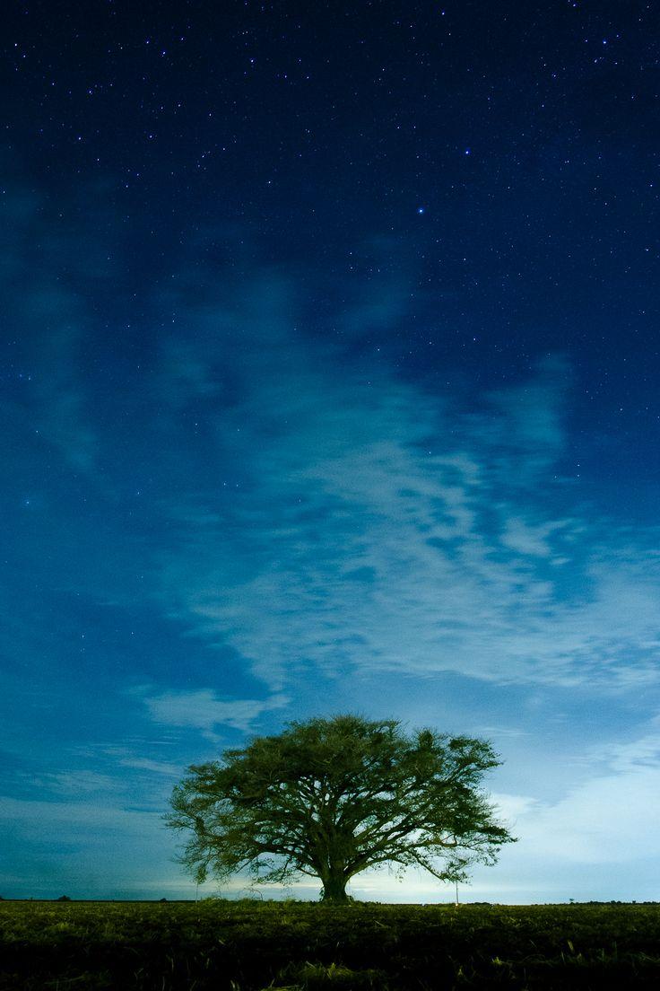 Foto noturna com longa exposição de 20″. Esta árvore solitária foi a única preservada em uma área destinada ao cultivo de cana-de-açúcar. A luz ao fundo é o surgimento da lua cheia no horizonte. Leme-São Paulo-Brazil 2014.06.14