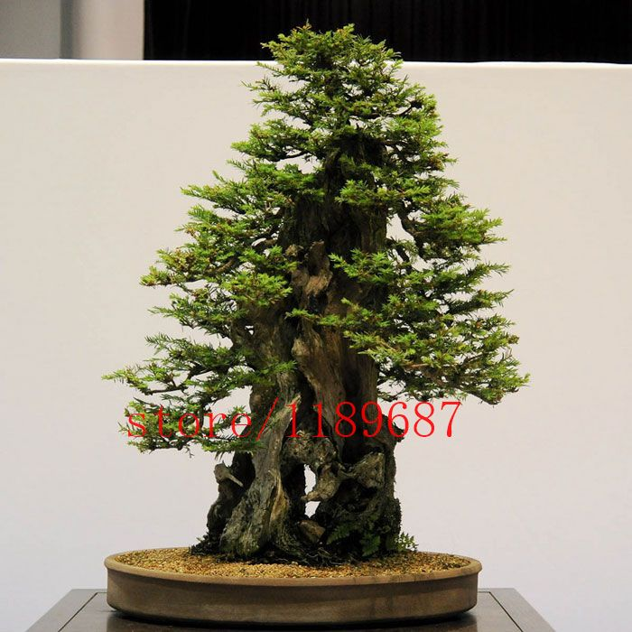 100pcs/bag Sequoia Coast Redwood Seeds,Sequoia Sempervirens Seeds, bonsai tree seeds potted for home & garden #clothing,#shoes,#jewelry,#women,#men,#hats,#watches,#belts,#fashion,#style