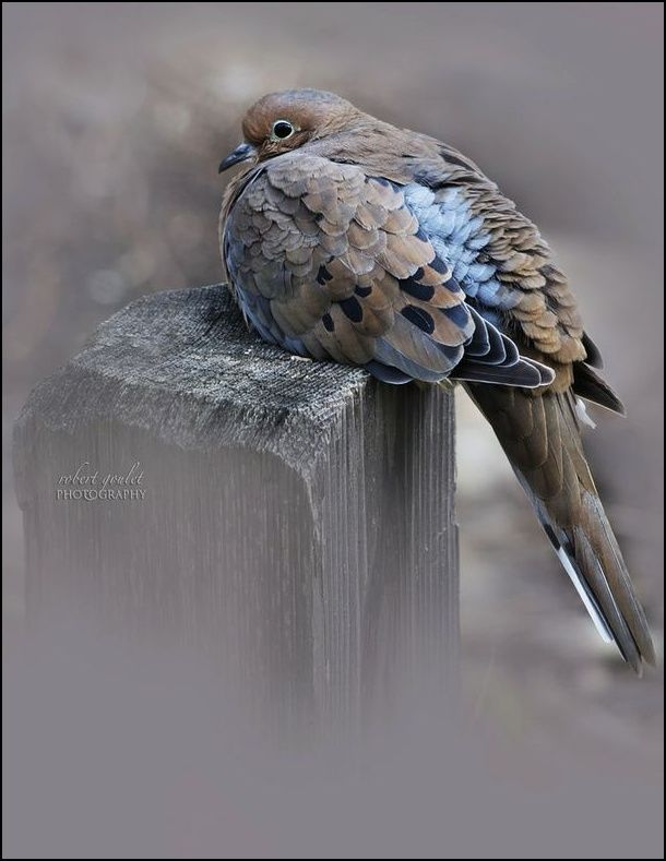 Morning Dove by Robert Goulet