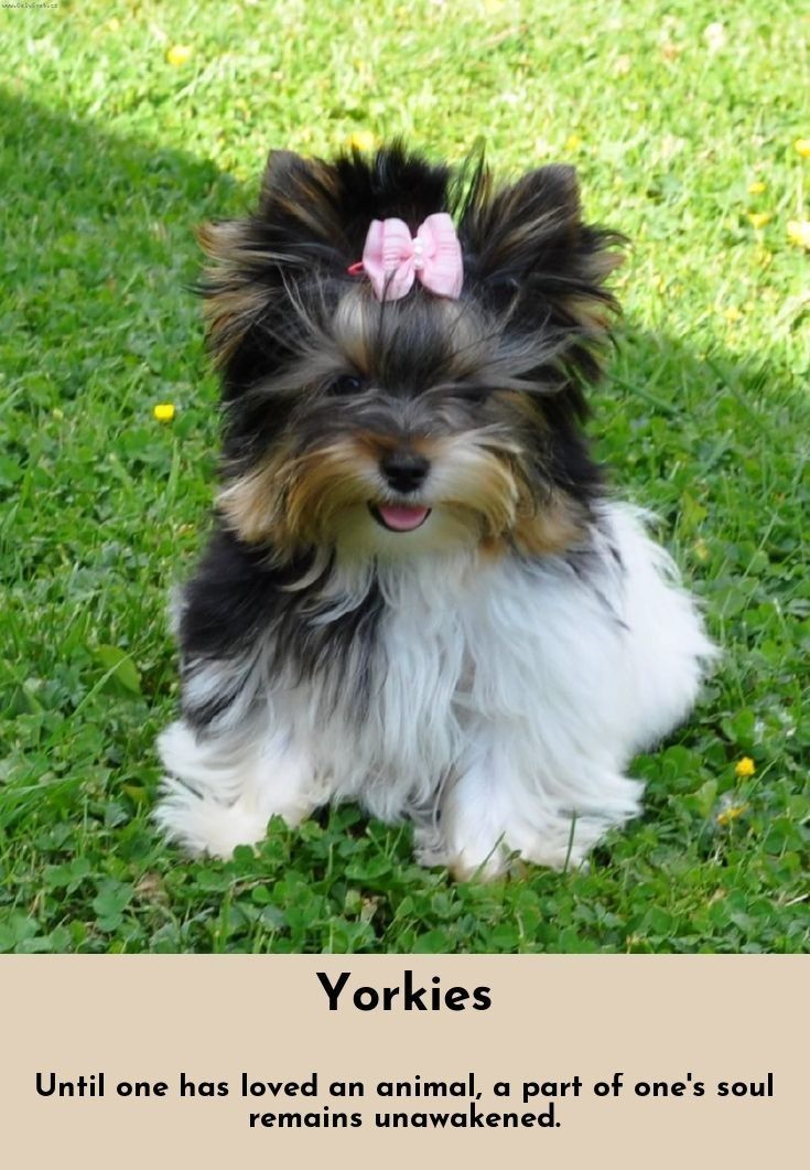 Read Information On Yorkshire Terriers Just Click On The Link To Learn More Chiots Yorkshire Terrier Beaux Chiens Yorkshire Terrier