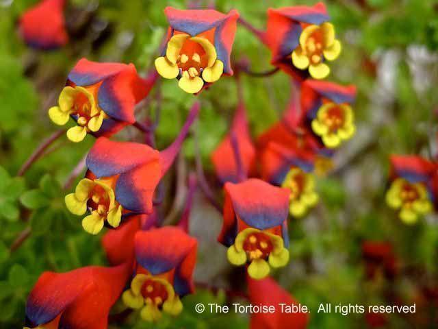 Tropaeolum (Nasturtium, Indian Cress, Canary Creeper, Three-coloured ...