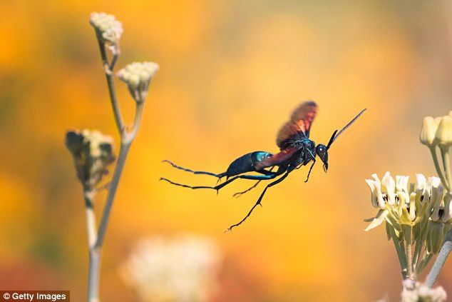 The sting of a tarantula hawk is intensely painful, making it an excellent predator