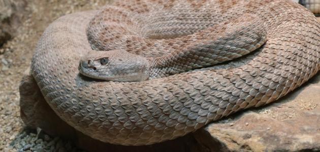 رؤية الثعبان في المنام وقتله للإمام الصادق Snake Animals