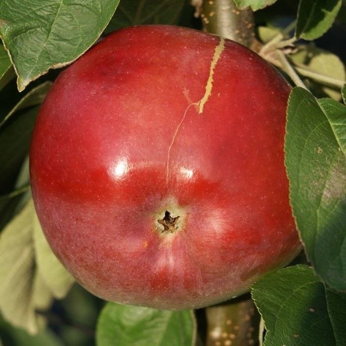 McIntosh ® Wijcik, süß und saftiger Säulenapfel, 60-80 cm groß im 5 Liter Topf, Unterlage: M7 | Säulenäpfel | Apfelbäume | Obstbäume | Grüner Garten Shop