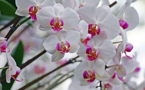 névnap és születésnap orchidea trópusi virág
