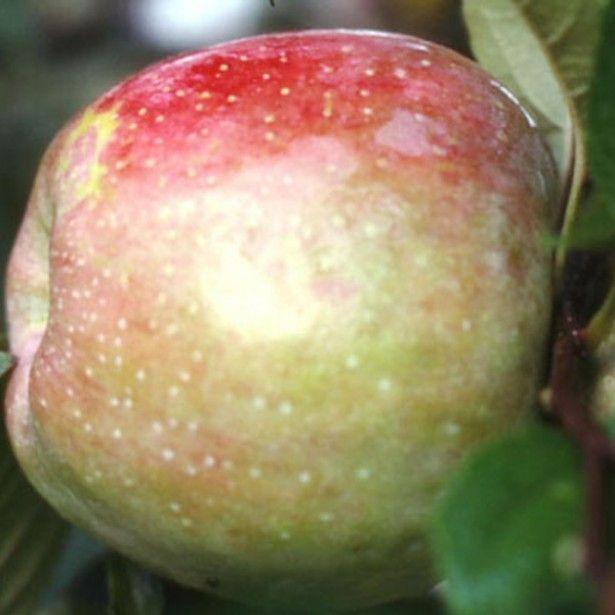 17 meilleures id es propos de malus sur pinterest chaise violet vert pomme et cade - Variete de pommier rustique ...