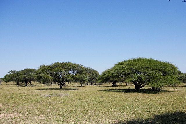 Umbrella Thorn, Curly-pod Acacia - Image