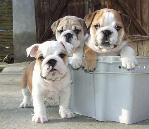engelse bulldog puppy
