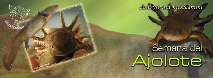Ajolote (Ambystoma mexicanum) MAYOR INFORMACIÓN: http://mexifauna.blogspot.mx/2014/08/ajolote-ambystoma-mexicanum.html