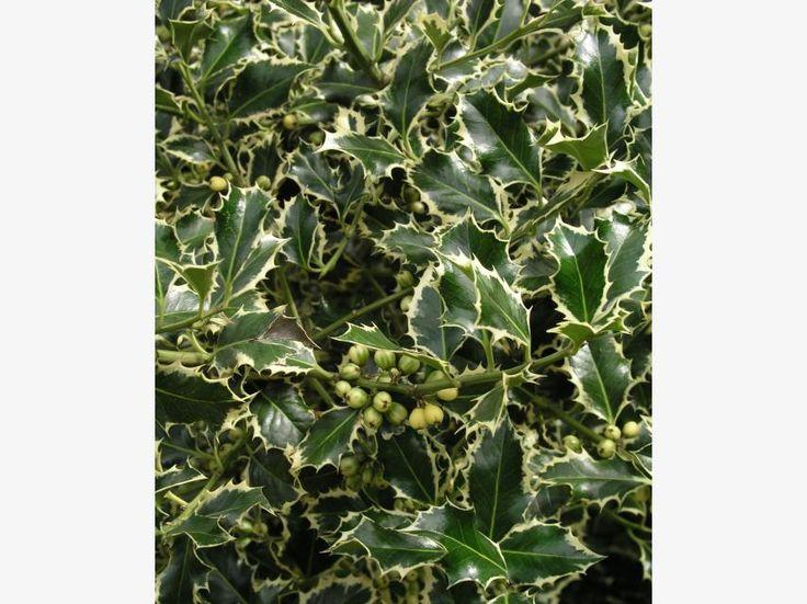 68 best Immergrüne Gartenpflanzen images on Pinterest Garden - gartenstraucher immergrun winterhart