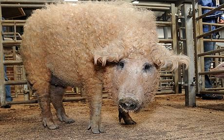 Furry pig sells for £250 at swine auction - Telegraph
