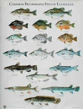 Common Species of Louisiana posters • General in Lake ...