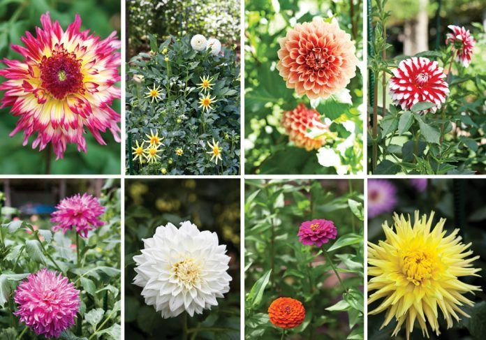 Along The Garden Path Dramatic Dahlias In 2020 Flower Display Dahlia Flowers Feed