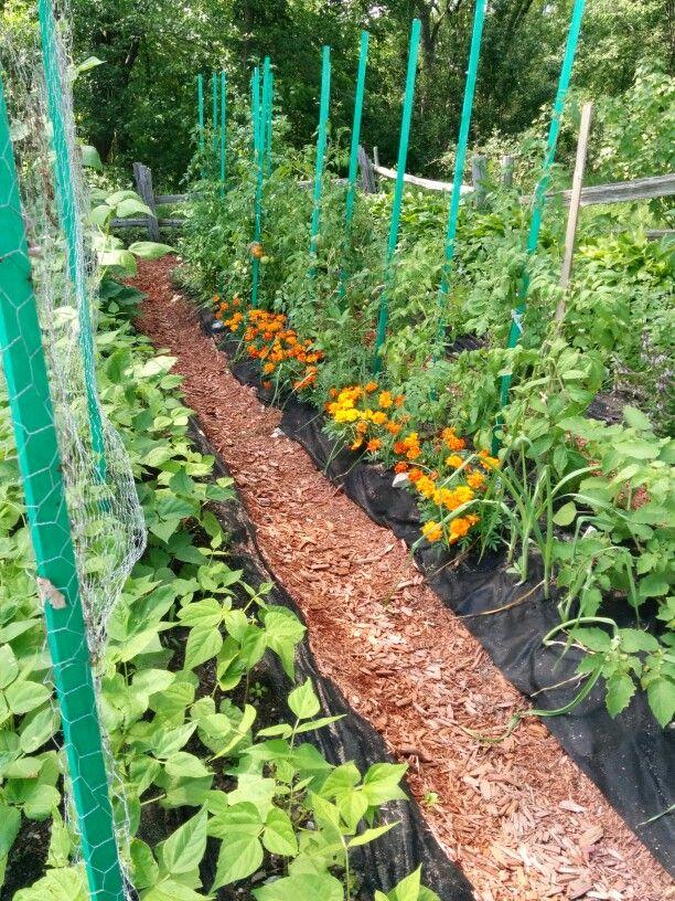 Jardin paresseux avec tuteurs pour les tomates et les f ves grimpantes jardinage pinterest - Tuteur tomate avec ficelle ...