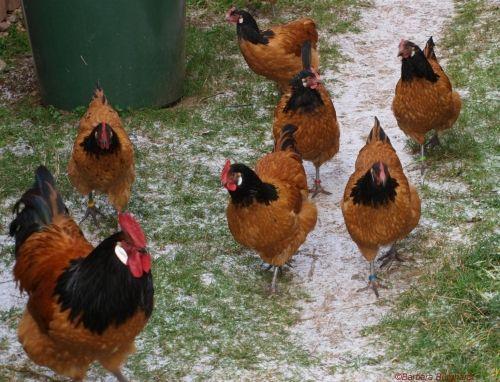 Vorwerkhühner Stämmchen