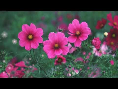 Футаж Розовая космея 1 HD