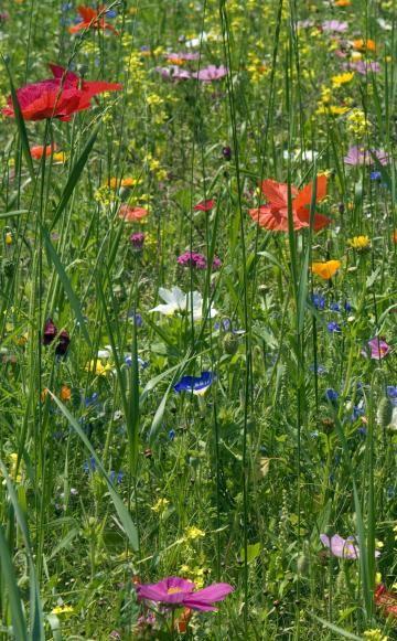 Mit Saatgut für Wildblumenwiesen lassen sich auch größere Flächen schnell und kostengünstig begrünen