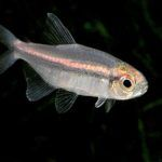 Rare Vilmae Tetras at Nautilus Tropical Fish Wholesale