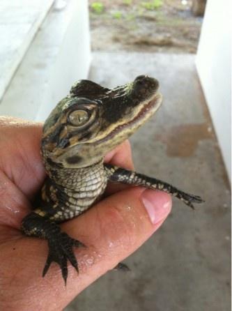 Where S Andrew Chasing Alligators In Louisiana Animals So Cute