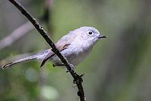 Blue-gray gnatcatcher - Dec. 31, 2017