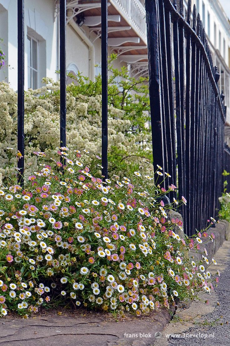 Erigeron karvinskianus, or Spanish daisies, on Royal York Crescent, Bristol, England