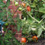 Silnejšie rastliny, zdravšie plody a žiadne choroby: Uhorkám a paradajkám sa vďaka tomuto jednoduchému receptu darí lepšie, ako kedykoľvek predtým!